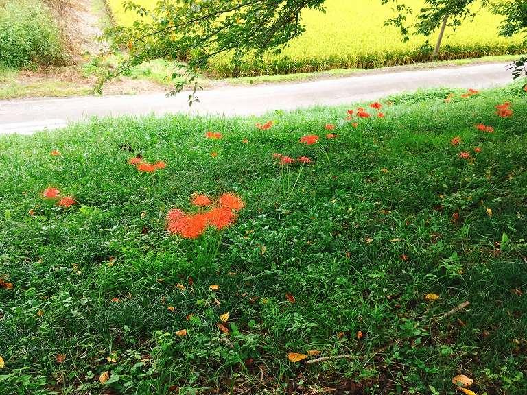 春は桜、夏の終わりに彼岸花が咲き乱れるさくら堤公園☆隠れた名所の